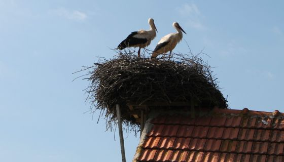 Гнездо на крову гараже Иванковића