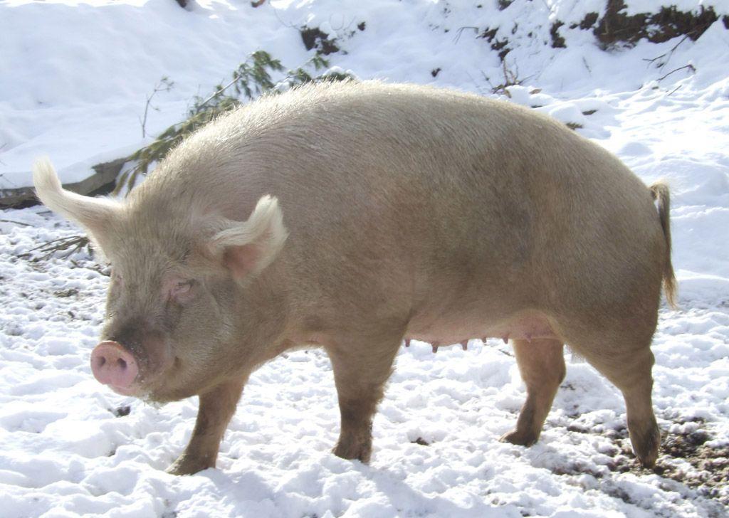 Svinja na snegu