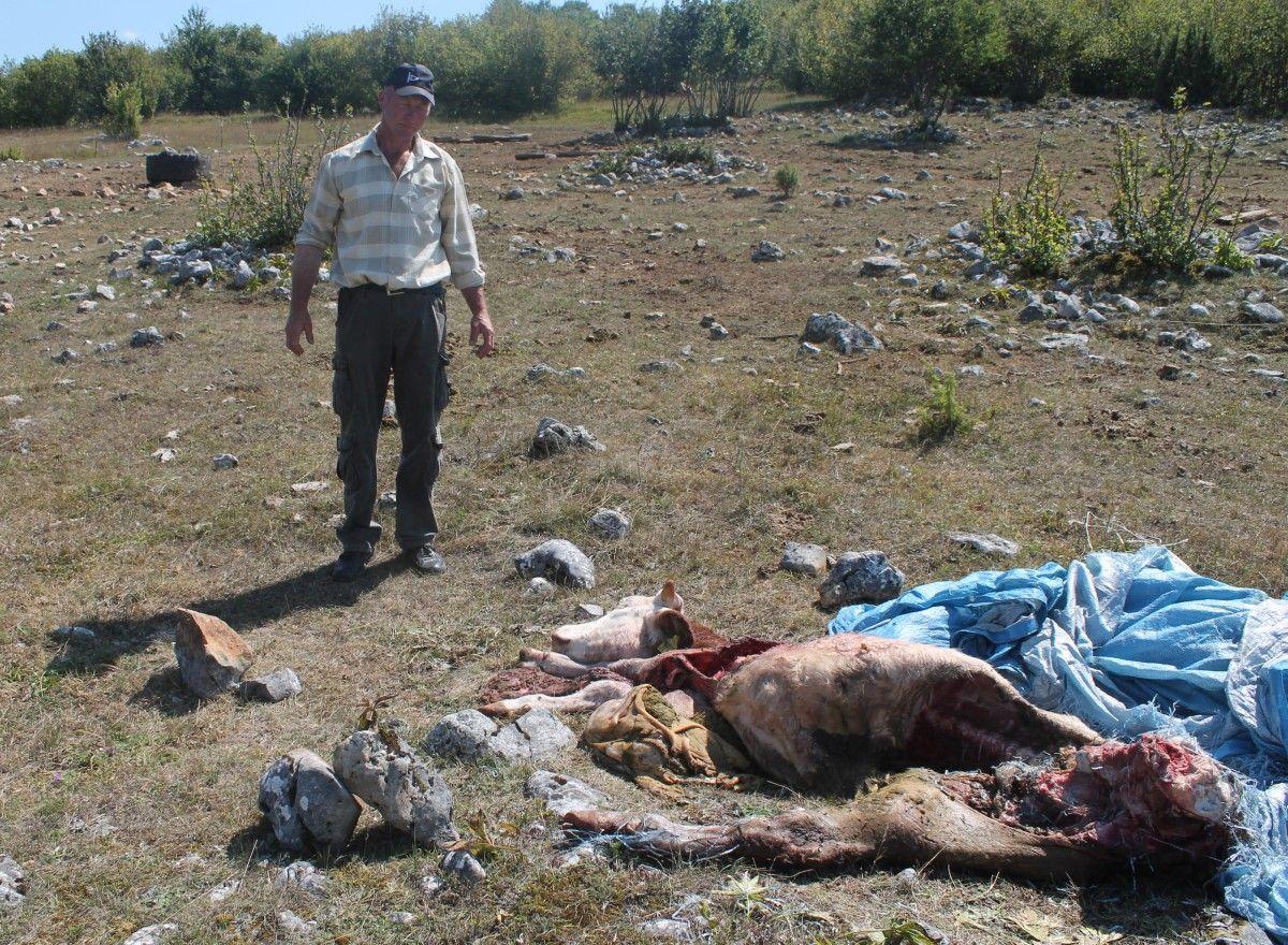 Vukovi rastrgli bika i junicu