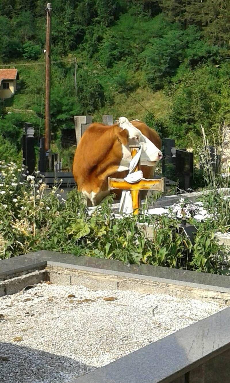 """Градско гробље  """"испаша""""  за краве"""
