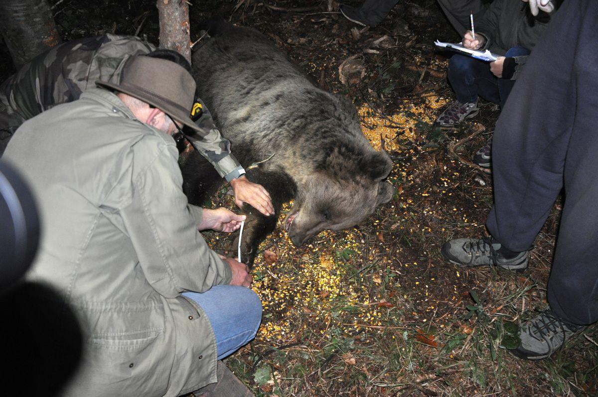 Мерење,  ветеринари и биолози узели  све податке за личну карту меде Милоша
