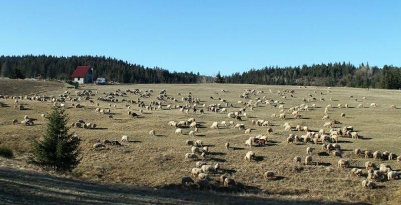 Бела стада била су ископнела у висовима планине