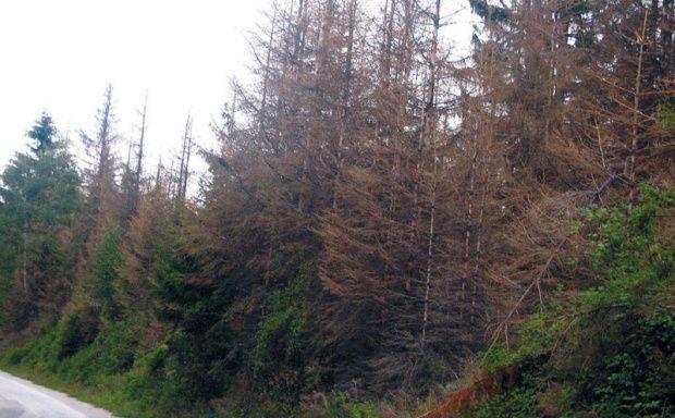 Osušena stabla na Murtenici