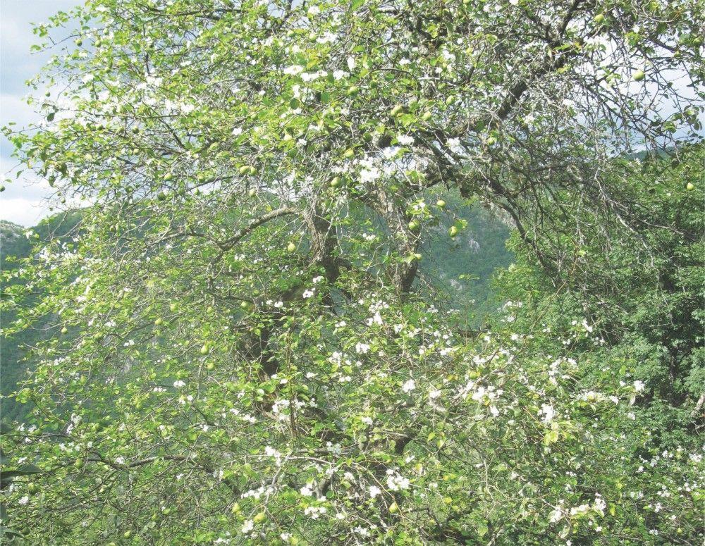 Cvetanje - jeribasme u Hisardžiku kao u aprilu