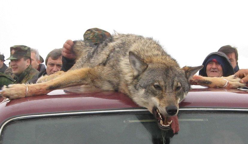 Ubijeni vuk