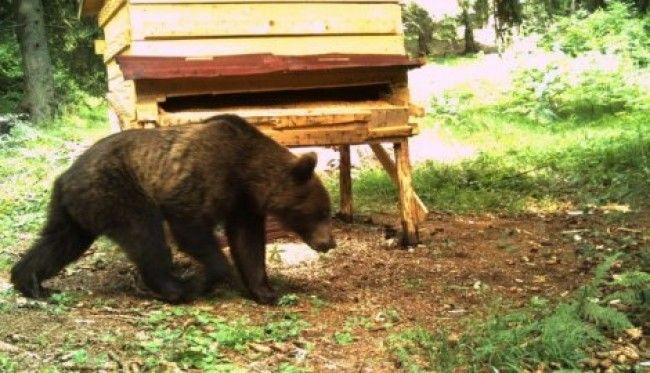 Mrki medved