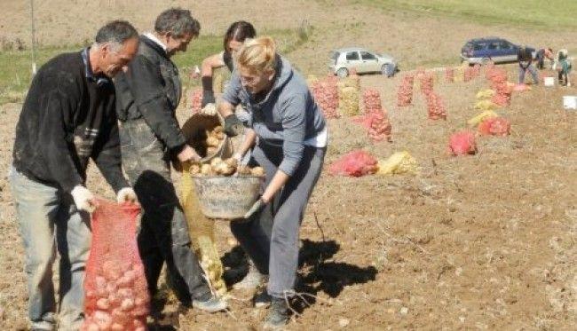 Vađenje krompira Zlatar Nova Varos