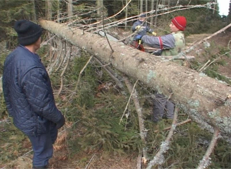 Izvaljeno drvo nevreme