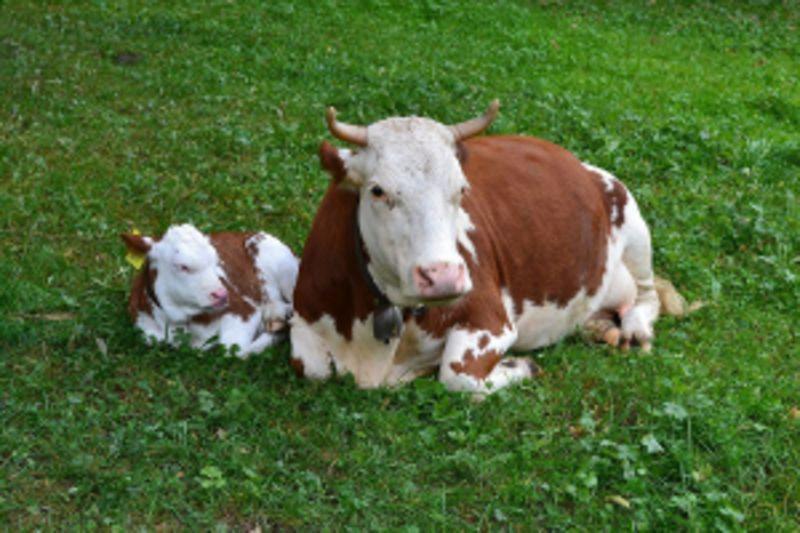Prijave za podsticaje za krave i tov teladi