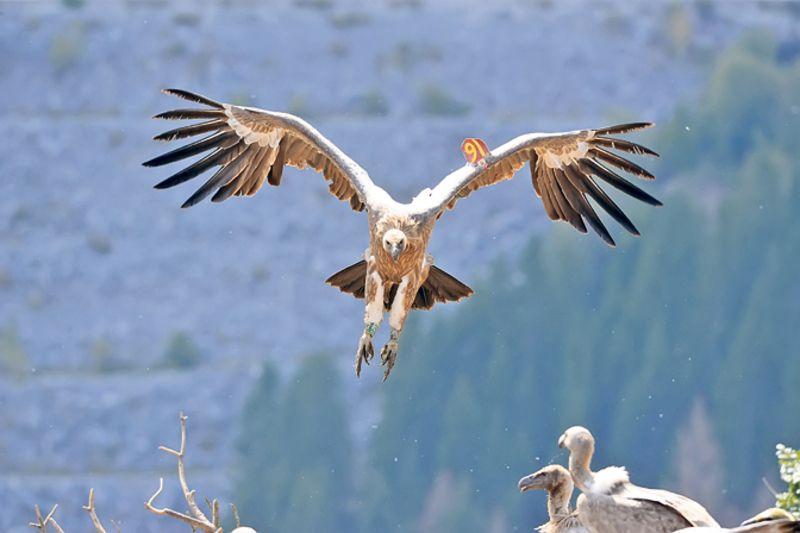 """Колонија белоглавих супова у Резервату """"Увац"""" броји око 500 птица (Фотодокументација Фондације за заштиту птица)"""