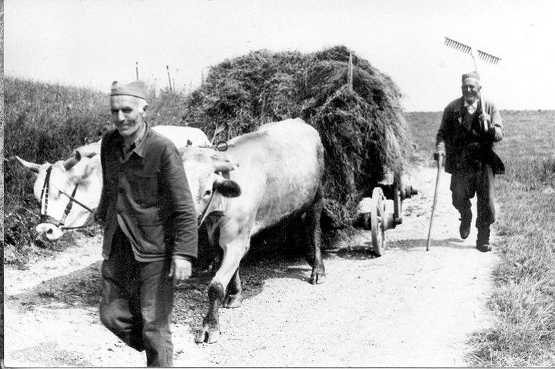 Превоз сена из Калипоља у Буковик