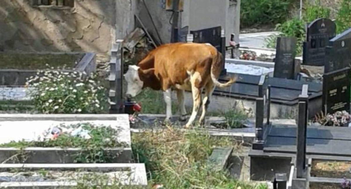Крава на градском гробљу