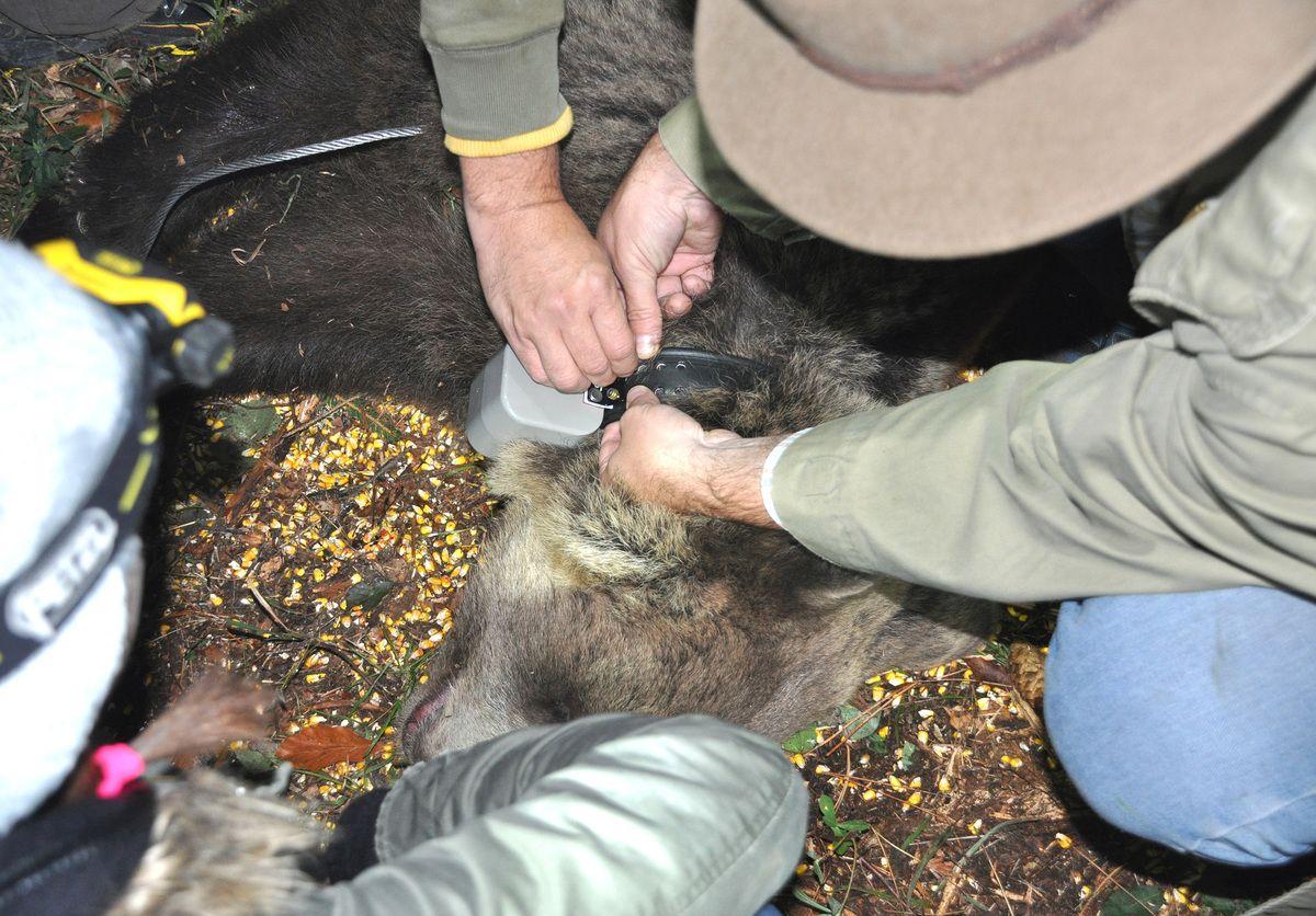 Огрлица, први медвед маркиран ван Националног парка тара