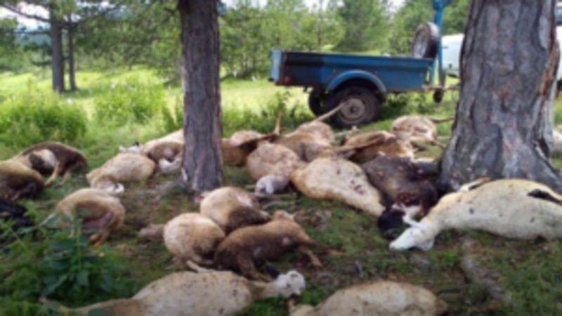 Муња спржила стадо: Прекључе у Брезнима (Фото: М. Коленовић)