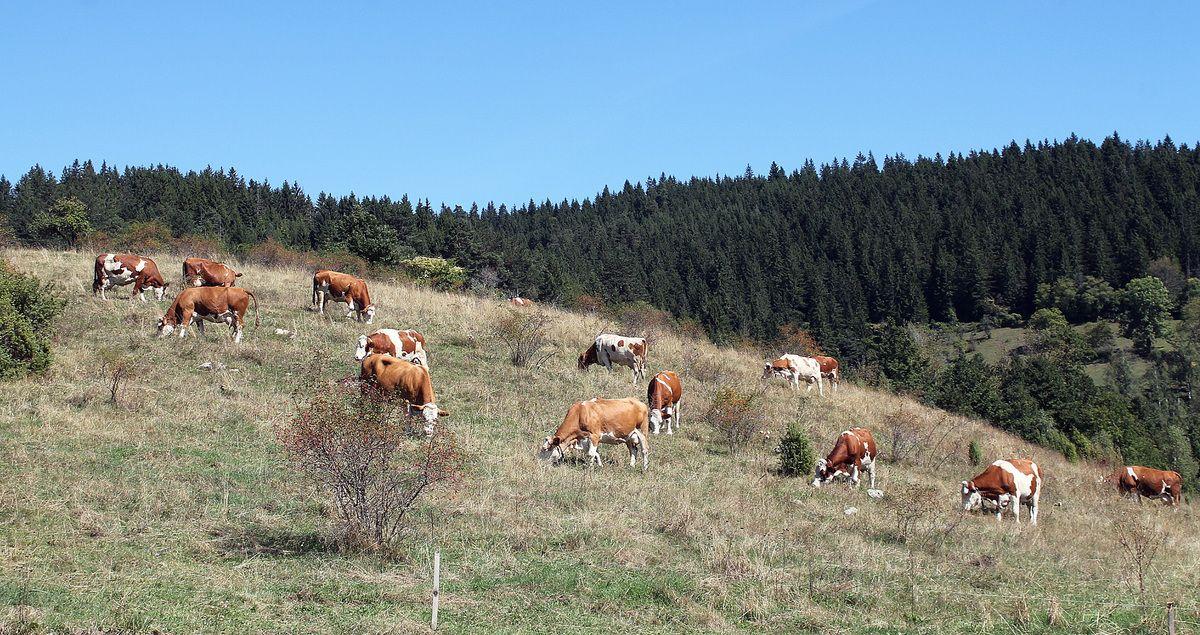 Расна грла и река млека са планинских ливада