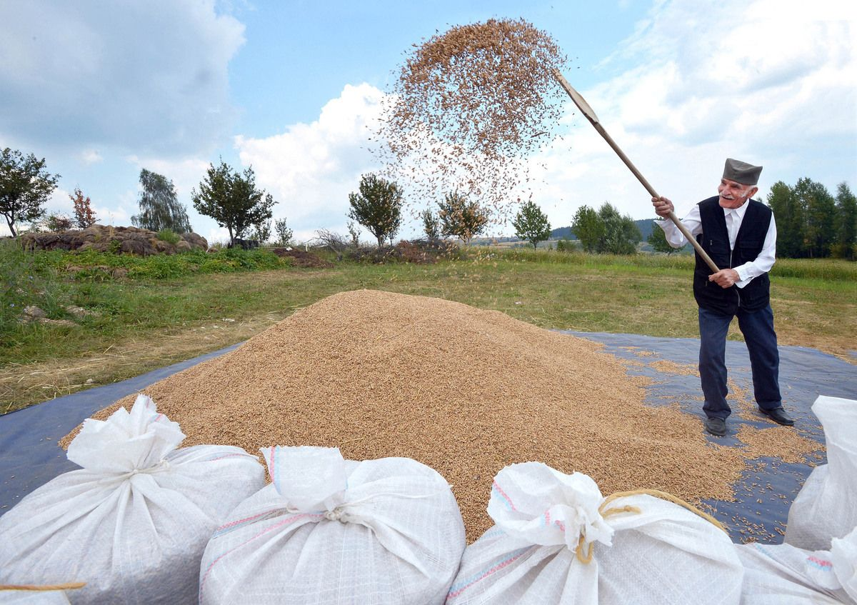 Вијање жита на гувну у селу Радијевићи