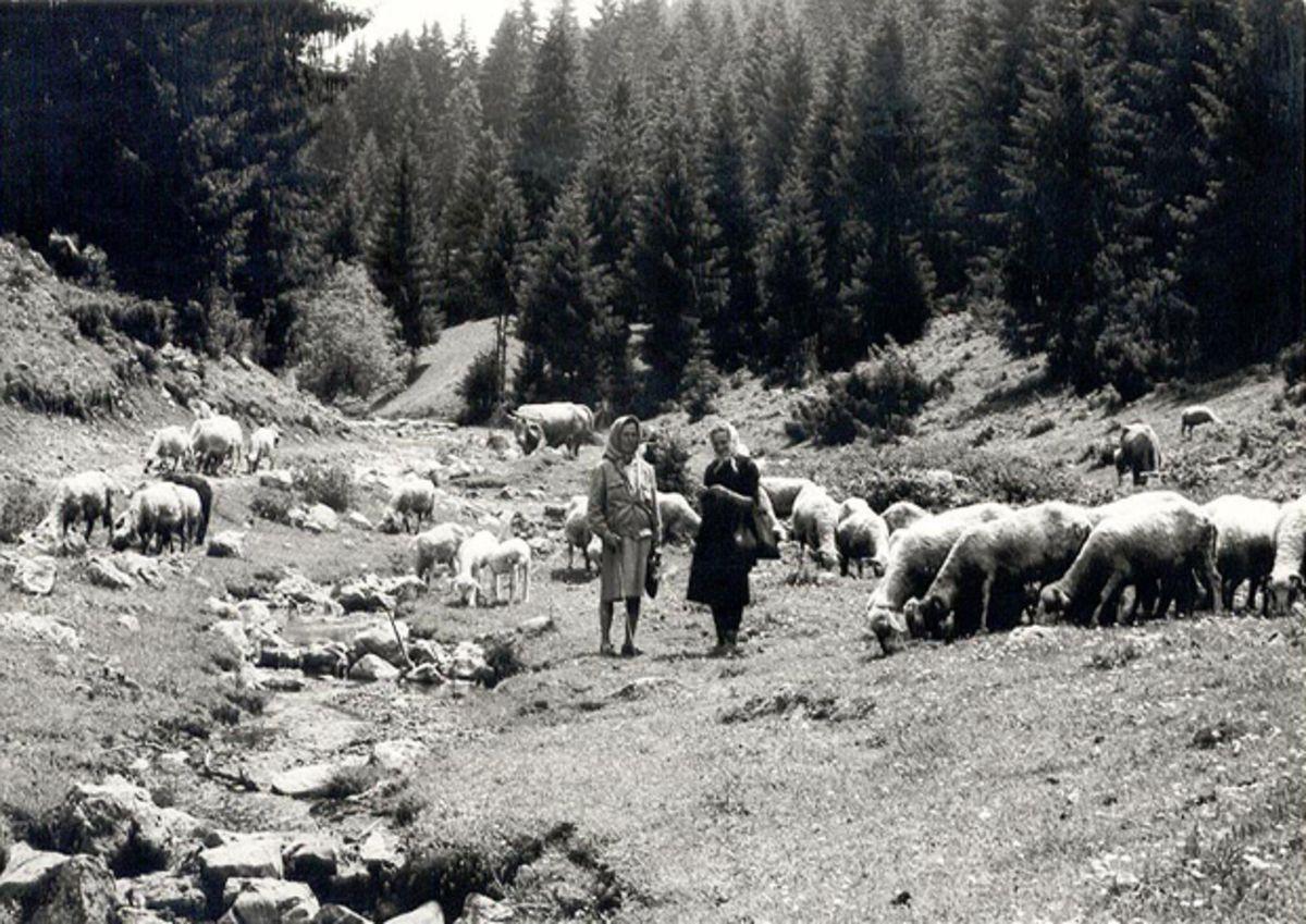 Бела стада на падинама Муртенице и Чемернице
