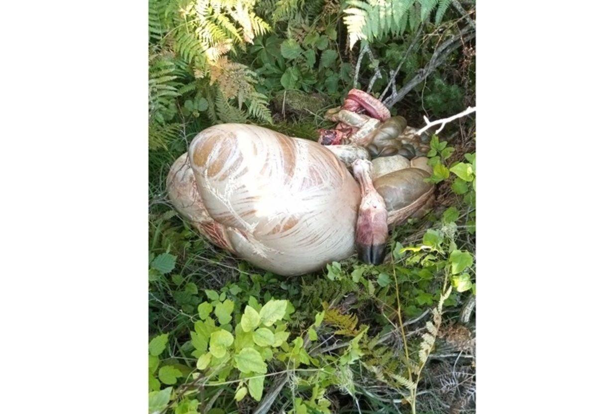Славиша Корићанац нашао је дроб свог бика недалеко од места где води стоку на испашу, фото: ГЗС