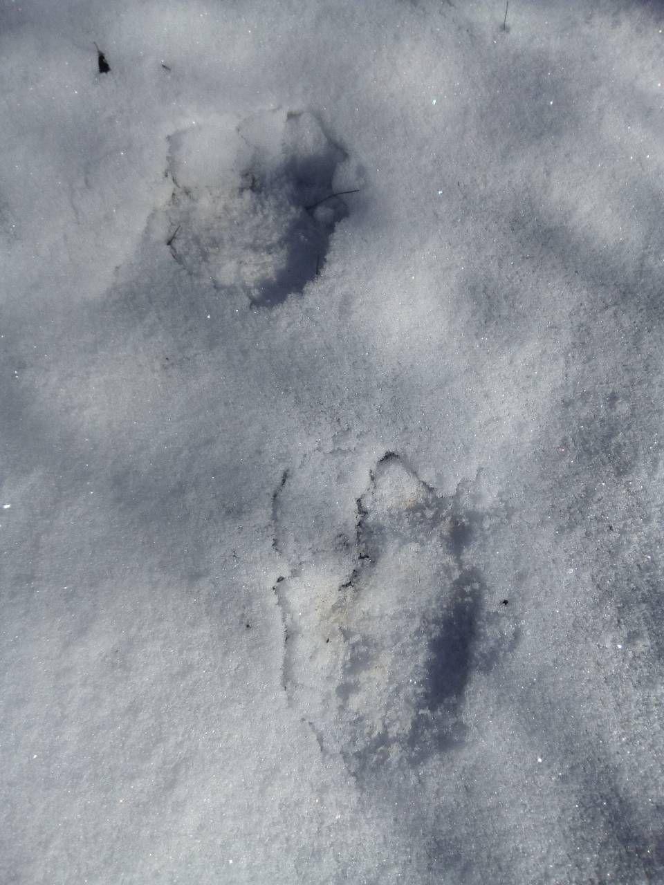 Трагови мечке у засеоку под Муртеницом