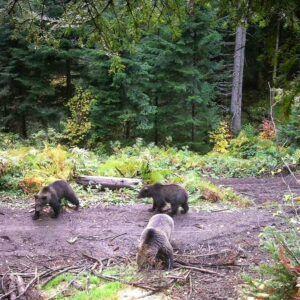 На хранилиште Брезовац долазе три медведа (фото: Мирјана Ранковић Луковић)