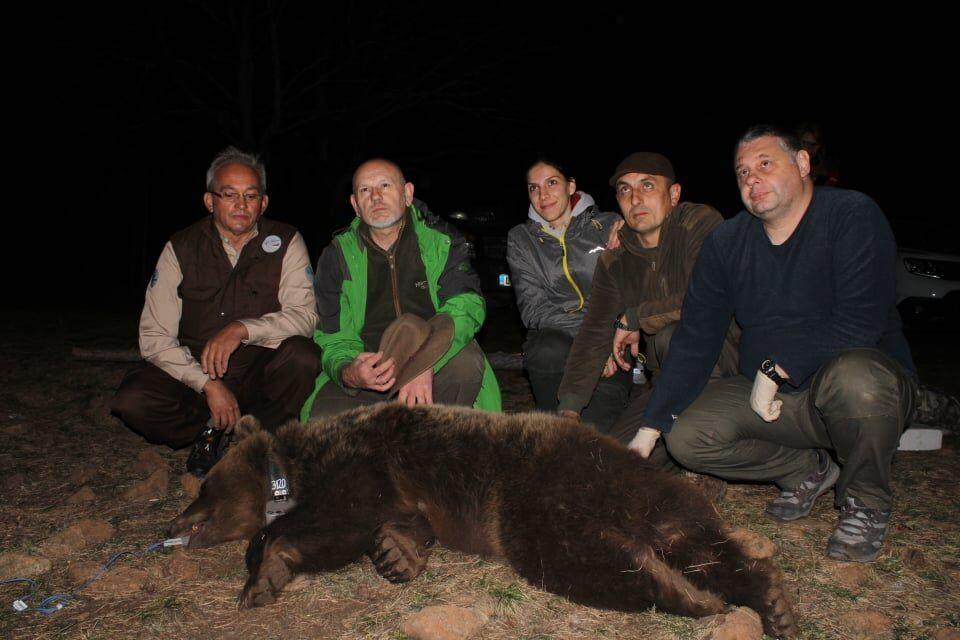 Успешно обављено чиповање медведице Милунке ( фото: Мирјана Ранковић Луковић)