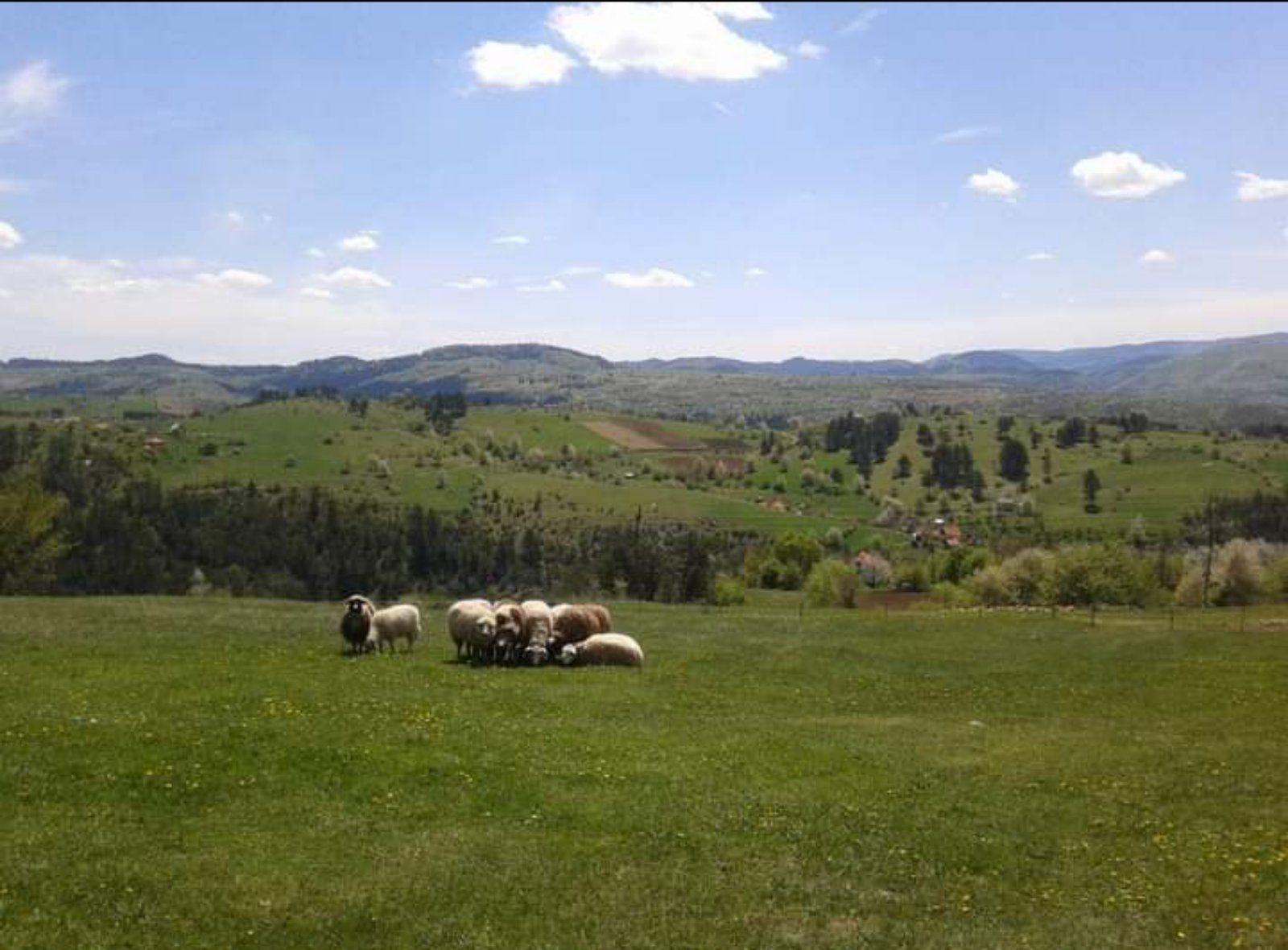 Чобани на опрезу, стада даље од шуме (Фото: Б. Илић)