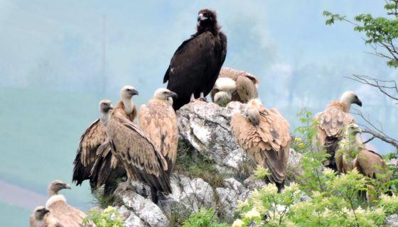 Црни орао међу сабраћом на литици Увца