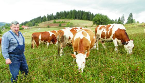 Milanko Trtović i krave
