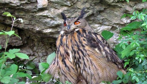 Највећа сова на свету Фото Б. Рудић