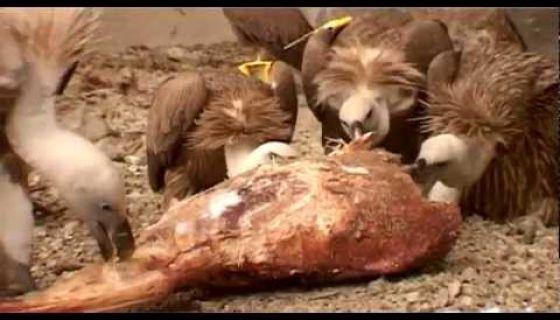 Gradske ptice - Beloglavi sup