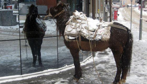 Konj MIsko se ogleda u izlogu