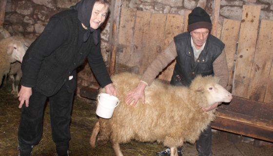 Преживела - Данојла и Михаило Луковић са овцом која је избегла клање и чељусти вукова