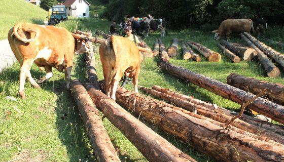 Рабаџије извлаче балване из шуме неприступачним стазама