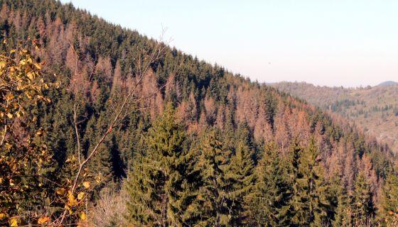 Штете - сушење шума у клисури Тисовице