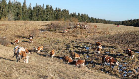 Шанса сточарства - месо за извоз