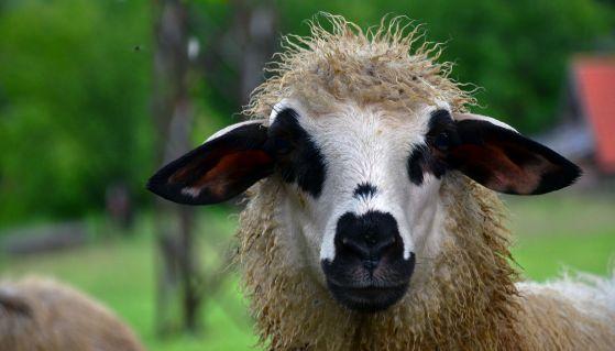 Ovca - Lepote planine Zlatar