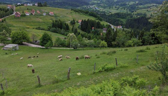 Овце на испаши на Златару