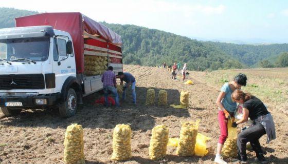 Поље кромпира у Ивањици