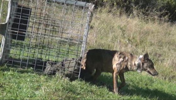 Након маркирања вучица Ванда пуштена у природу, фото: РИНА