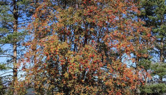 Drvo u jesen