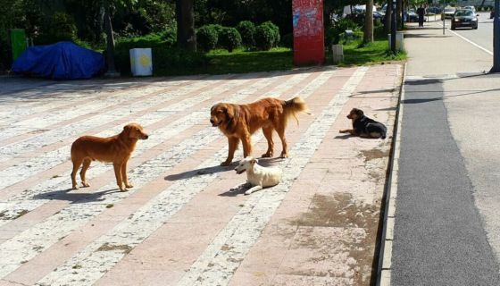 Ванредна ситуација због уједа паса луталица у Пријепољу трајала од ручка до вечере, (Фото: А. Ровчанин)