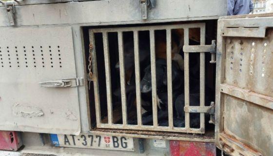 Ухваћено 17 паса луталица у Пријепољу, (Фото: РИНА)